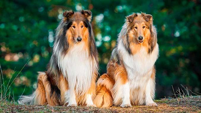фото собак породы колли