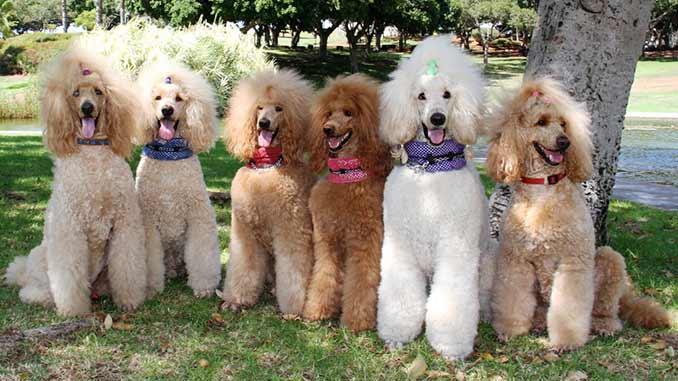 собаки породы пудель фото