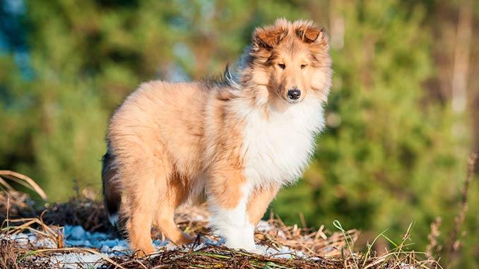 колли - фото щенка