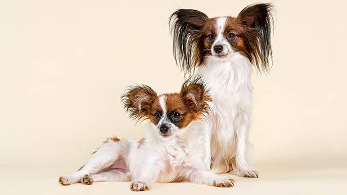 фото подрощенных щенков Папильона