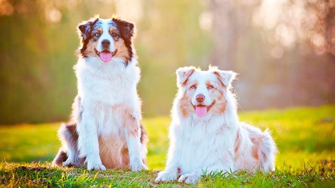 фото собак Австралийская овчарка