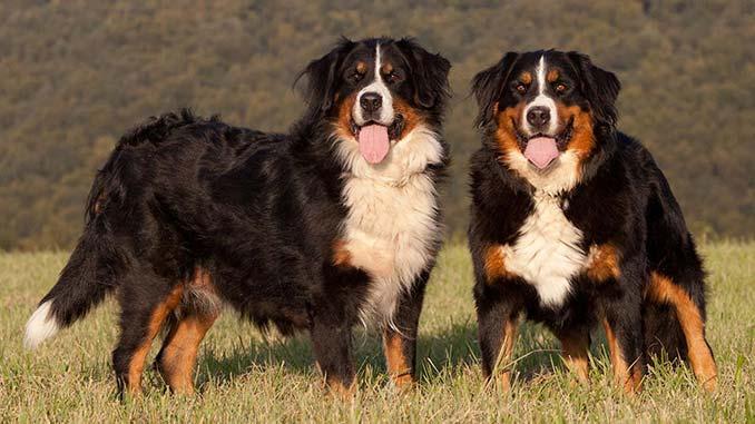 фото собак породы бернский зенненхунд