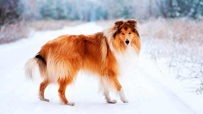 порода собак колли фото