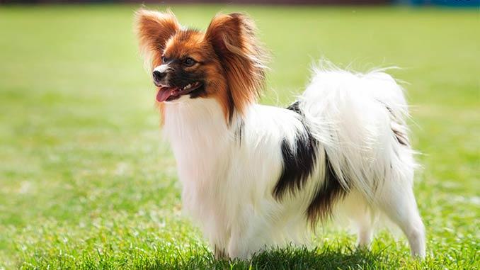 фото собаки породы Папильон