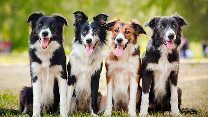 фото собак бордер колли