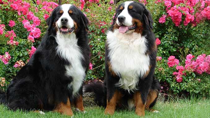 фото собак Бернского зенненхунда
