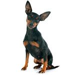 порода собак цвергпинчер фото