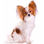 фото взрослой собаки породы Папильон