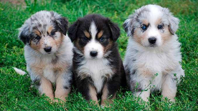 фото щенков Австралийской овчарки