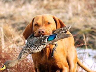 Дрессировка охотничьих собак фото