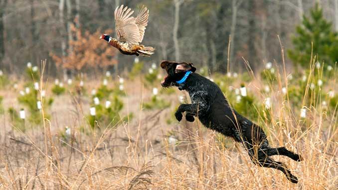 Обучение охотничьих собак фото