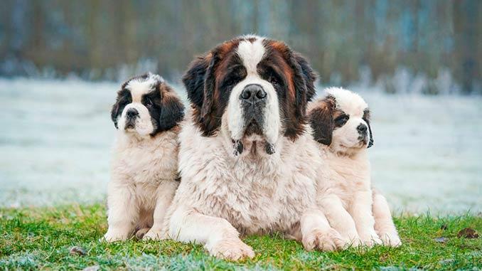 фото сенбернара со щенками
