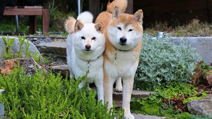 фото собак сиба ину