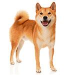 сиба ину фото взрослой собаки