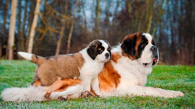 сенбернар фото со щенком