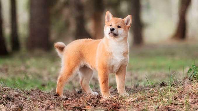 фото щенка сиба ину