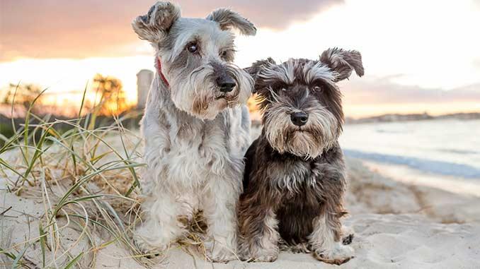 фото собак породы цвергшнауцер