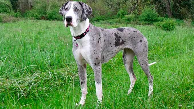 порода собак немецкий дог фото