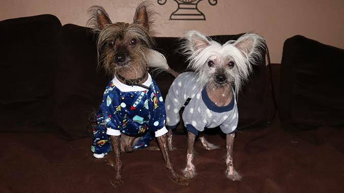фото собак породы Китайская хохлатая
