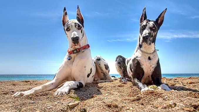 фото собак немецкий дог