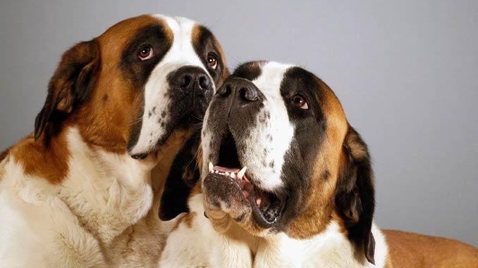 фото собак породы сенбернар