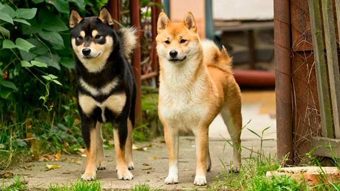 фото собак породы сиба ину