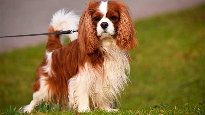 фото собаки породы Кавалер-кинг-чарльз-спаниель