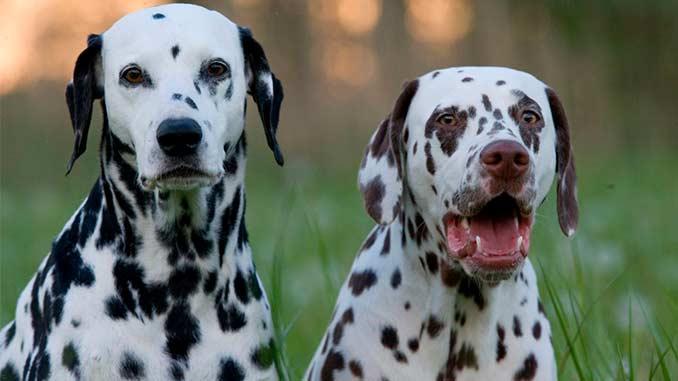 пара собак породы далматин фото