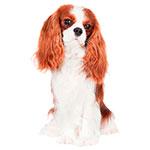 фото взрослой собаки Кавалер-кинг-чарльз-спаниель