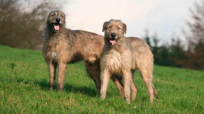 собаки ирландского волкодава фото