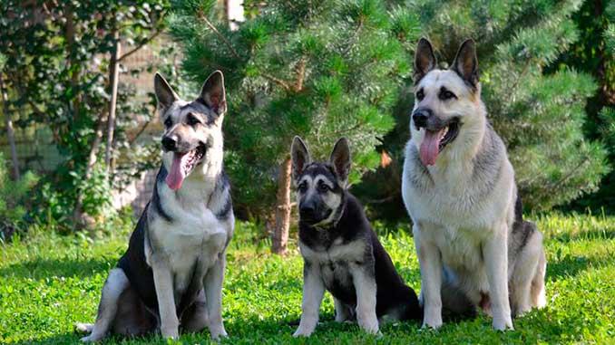 фото собак восточно-европейской овчарки со щенком