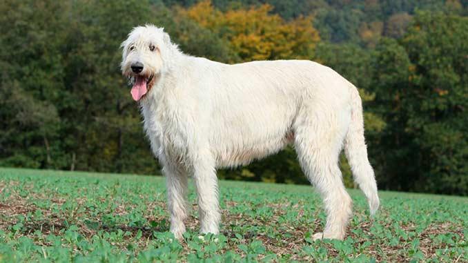 белый ирландский волкодав фото