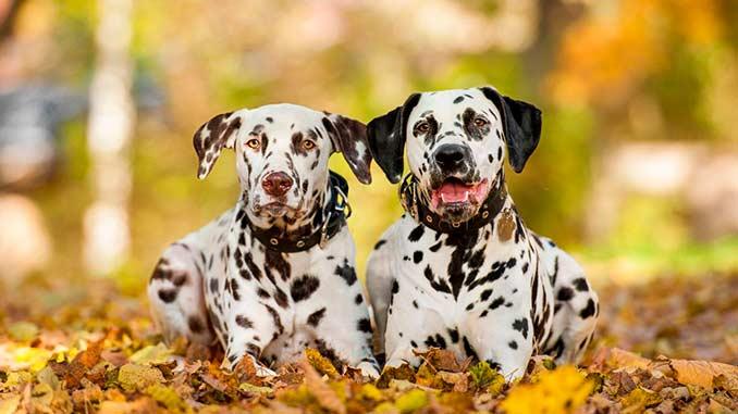 фото собак породы далматинец