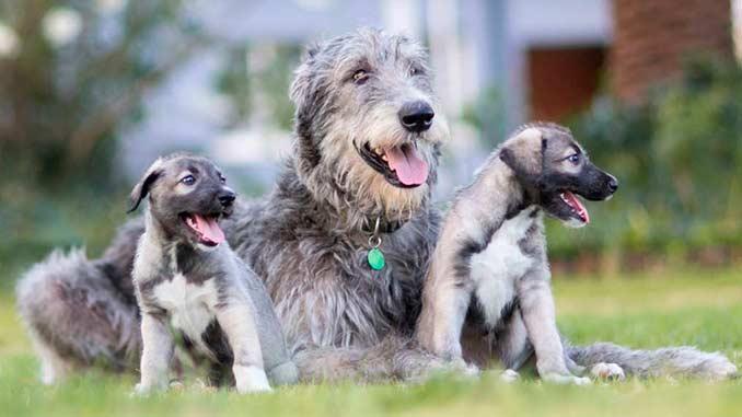ирландский волкодав со щенками фото