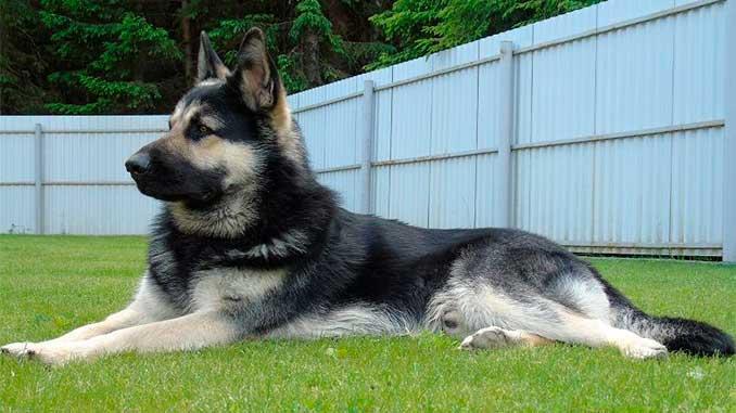 Восточно-европейская овчарка фото подрощенного щенка
