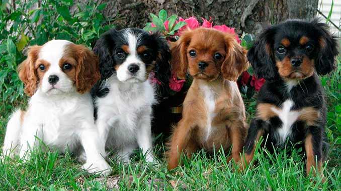 Кавалер-кинг-чарльз-спаниель фото щенков