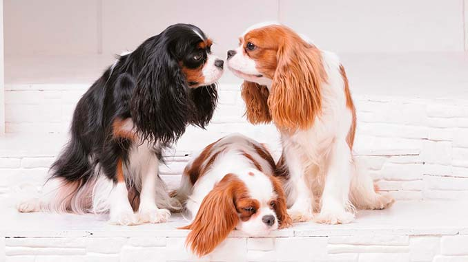 Кавалер-кинг-чарльз-спаниель фото собак разных окрасов
