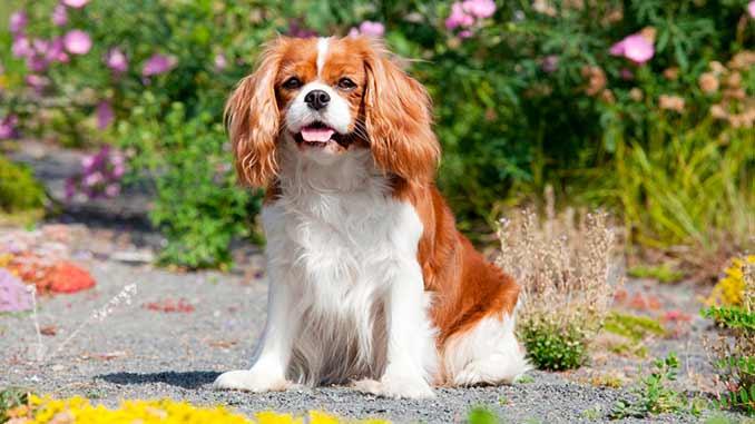 порода собак Кавалер-кинг-чарльз-спаниель фото