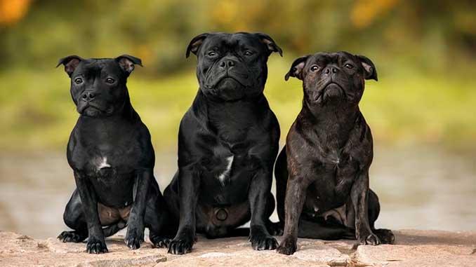 фото черных собак породы Стаффордширский бультерьер