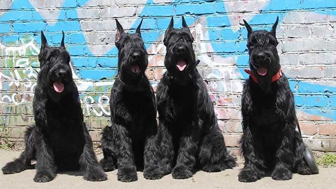 собаки породы ризеншнауцер фото