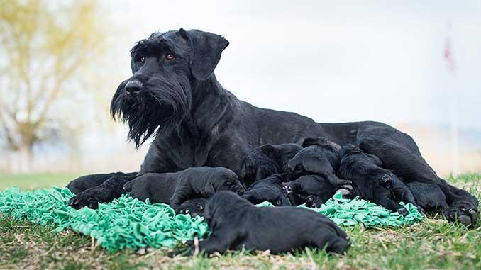 фото ризеншнауцера со щенками