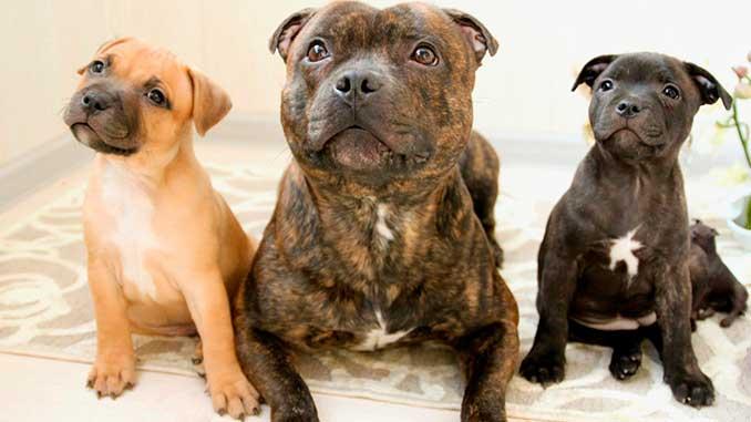 Стаффордширский бультерьер со щенками фото