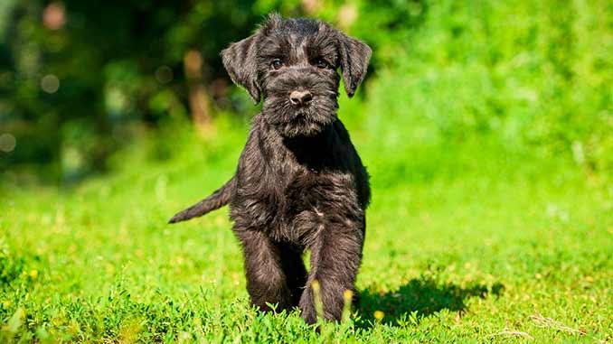 фото щенка ризеншнауцера