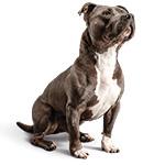 Стаффордширский бультерьер фото взрослой собаки