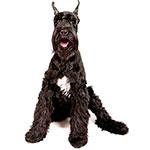 ризеншнауцер фото взрослой собаки