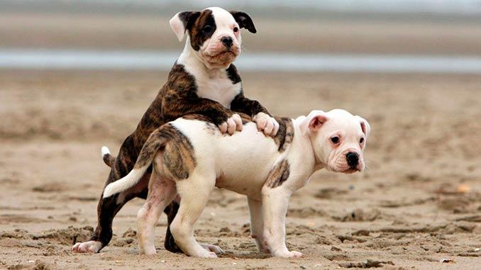 американский бульдог фото щенков