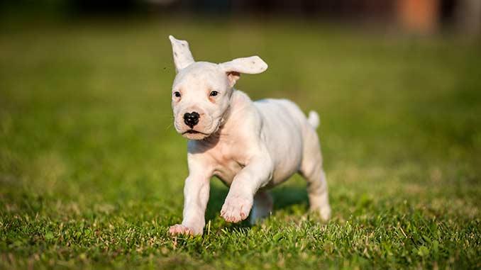 Аргентинский дог фото щенка