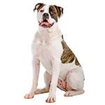 американский бульдог фото взрослой собаки