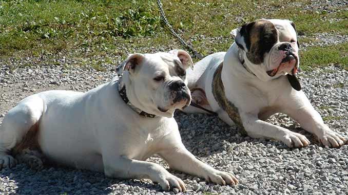 фото собак породы американский бульдог