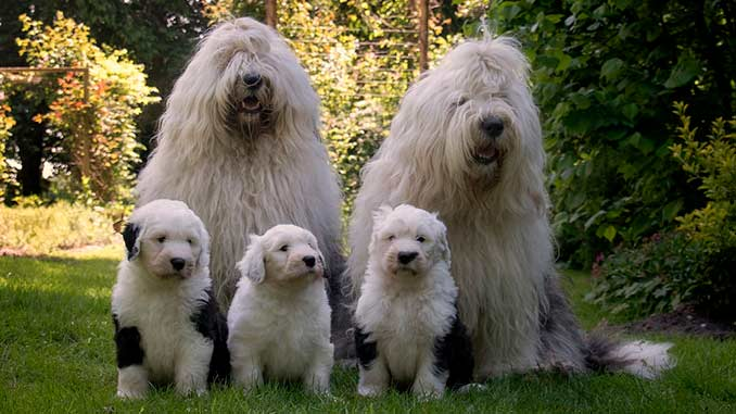 фото собак бобтейла со щенками